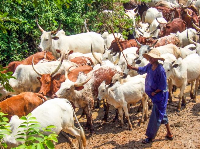 Cattle herder in the bush near Abuja, Nigeria